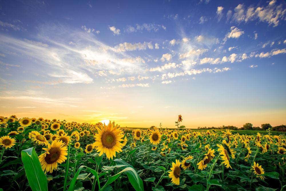 sunflowers in iowa
